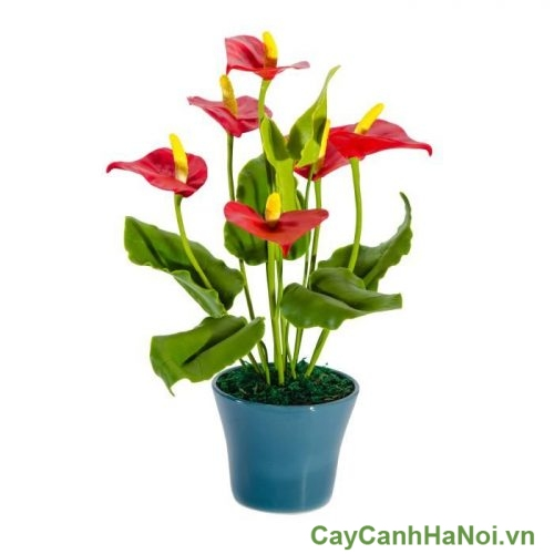 Cay-dai-hong-mon-cay-canh-van-phong-3-372x500 Cây Đại Hồng Môn Cây Cảnh Ban Công