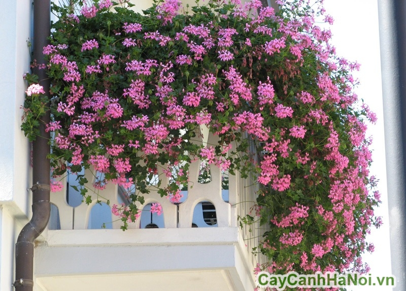 cay-ban-cong-03 Cây ban công - trồng gì cho đẹp?