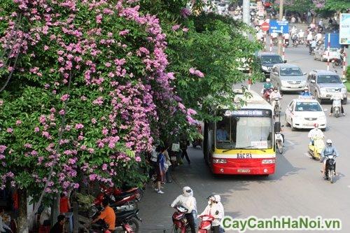 cay-bong-mat-01-500x375 Cây bóng mát trổ hoa rực rỡ