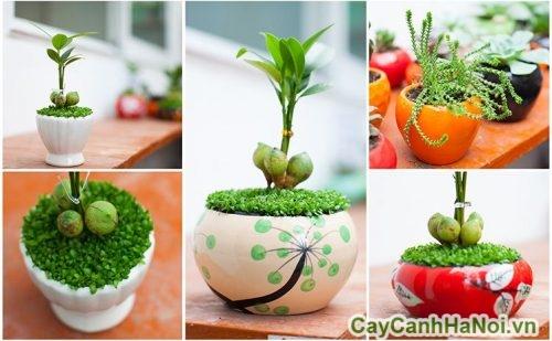 cay-canh-hop-menh-tho-de-ban-05-480x500 cây cảnh hợp mệnh thổ để bàn