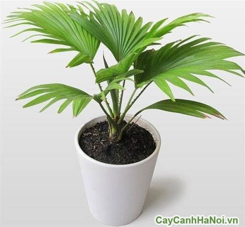 cay-canh-hop-menh-thuy-08-500x405 cây cảnh hợp mệnh thủy