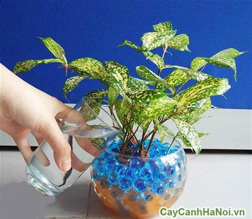 cay-canh-thuy-canh-01 Cây cảnh thủy canh