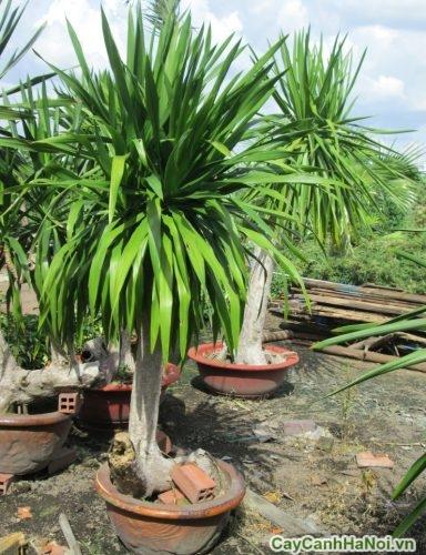 cay-dai-loc-cay-canh-ban-cong-1-500x365 Cây Đại Lộc Cây Cảnh Ban Công