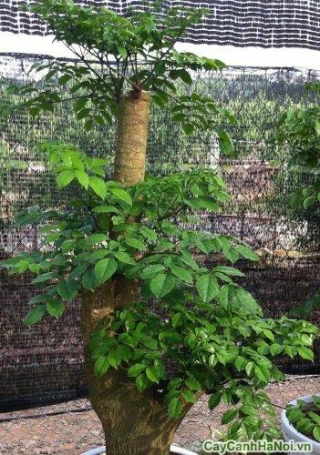 cay-hanh-phuc-cay-phong-thuy-3-500x334 Cây Hạnh Phúc - Cây cảnh Phong Thuỷ