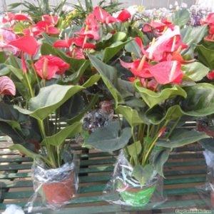 cay-hoa-dai-hong-mon-1-500x332 Cây Hoa Đại Hồng Môn Trang Trí Văn Phòng