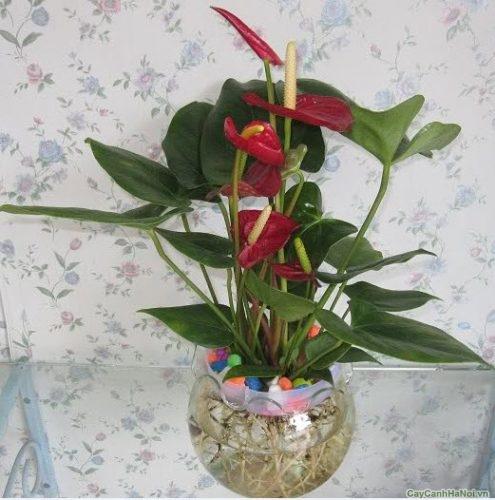 cay-hoa-tieu-hong-mon-1-500x281 Cây Hoa Tiểu Hồng Môn Để Bàn