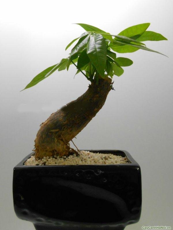 cay-kim-ngan-cay-canh-phong-thuy-de-ban-02-1 Cây Kim Ngân - Cây Cảnh Phong Thuỷ