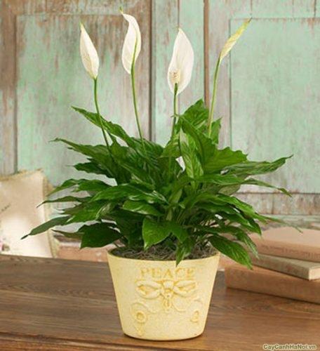 cay-lan-y-hoa-canh-05 Cây Lan Ý - Cây Hoa Cảnh