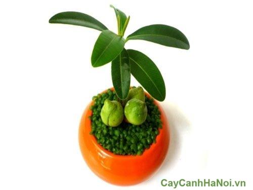 cay-may-man-cay-hoa-canh-2-500x308 Cây May Mắn Cây Hoa Cảnh