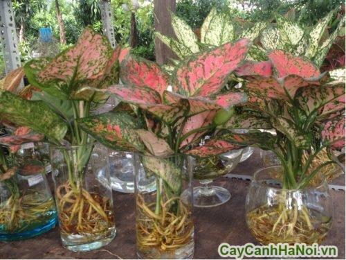 cay-phong-thuy-trong-nha-03-500x375 cây phong thủy trong nhà