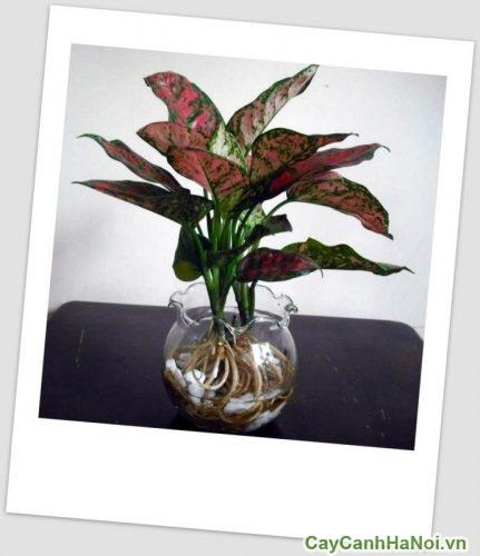 cay-van-loc-cay-hoa-canh-05-374x500 Cây Vạn Lộc - Cây Hoa Cảnh