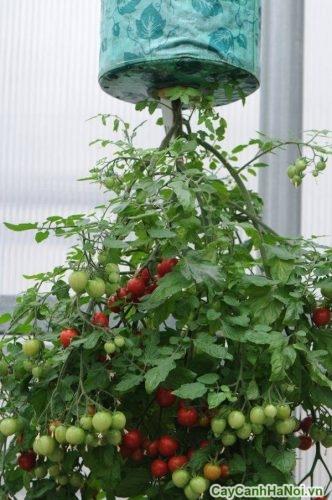 chau-hoa-treo-nguoc-04-500x335 Chậu hoa treo ngược trồng cây cảnh