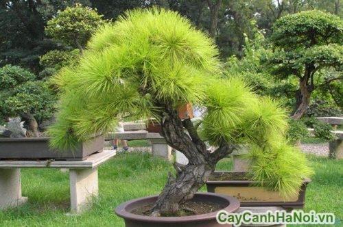 huong-dan-cach-cham-soc-cay-xanh-bonsai-4-500x445 Hướng dẫn chăm sóc cây xanh Bonsai đúng cách