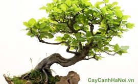 huong dan cham soc cay xanh bonsai