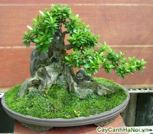 cay-bonsai-01-500x439 Cây Bonsai là gì?