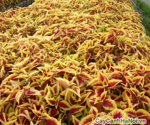 cay-la-mau-01-500x339 Cây lá màu - vẻ đẹp muôn sắc
