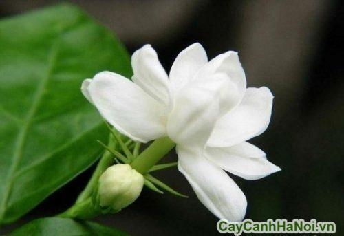 hoa-de-ban-04-500x333 Hoa để bàn tỏa hương dễ chịu