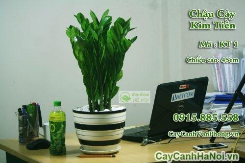 cay-kim-tien-1-1-500x333 Cây kim tiền