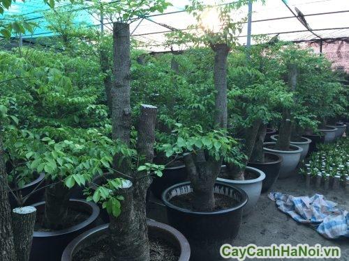 cay-hanh-phuc-1-500x375 Cây Hạnh Phúc
