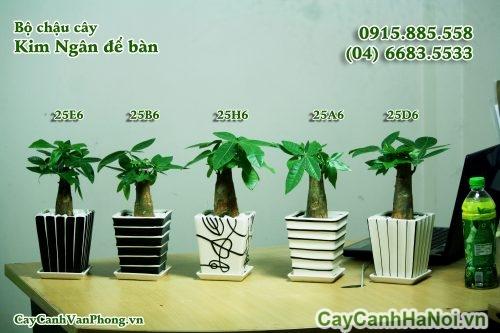 cay-kim-ngan-2-500x333 Cây kim ngân
